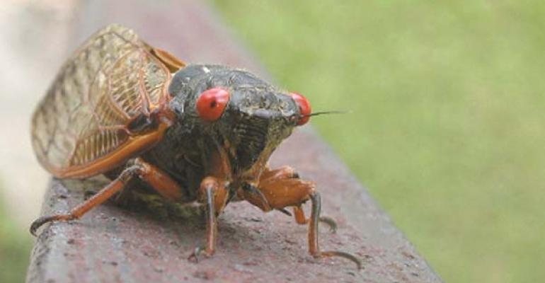 Calling the cicadas party of 200000 Cicadas will be partycrashers at special events in the Northeast and MidAtlantic soon Photo by iStockphotocom c Ryan Fardo